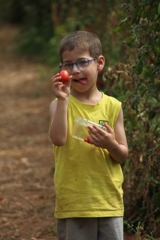 זוללים עגבניות שרי עד כדי כאב בטן :)